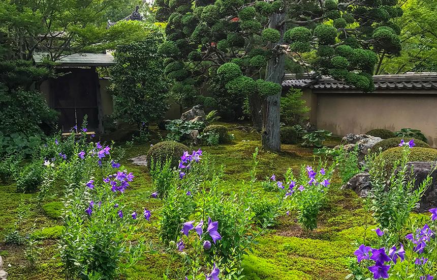 天得院枯山水庭園の桔梗