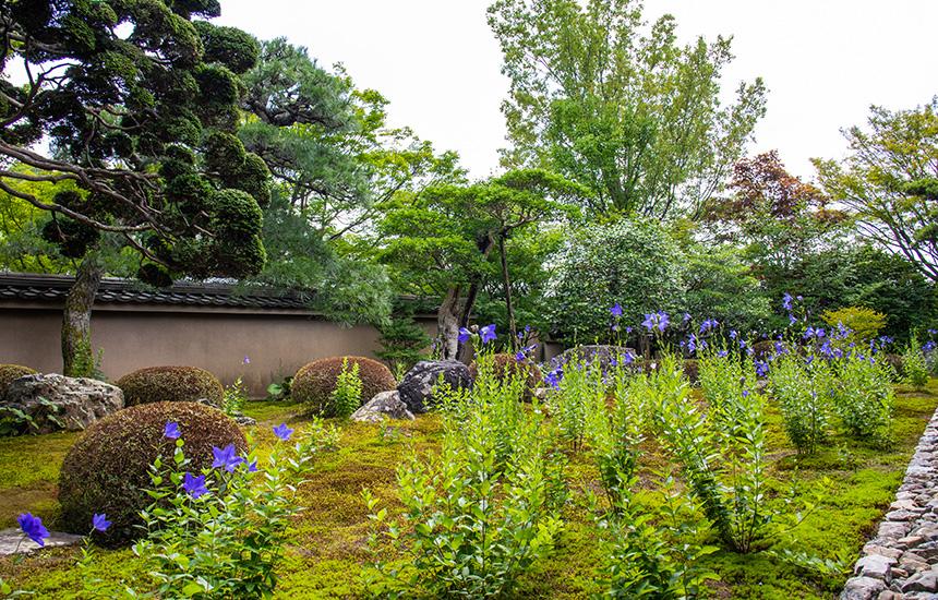 天得院の枯山水庭園一面の桔梗
