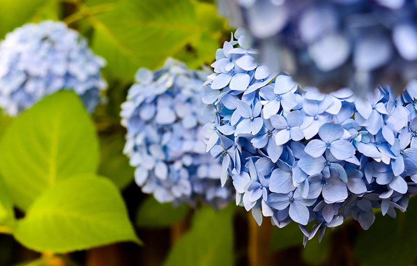 天得院の紫陽花