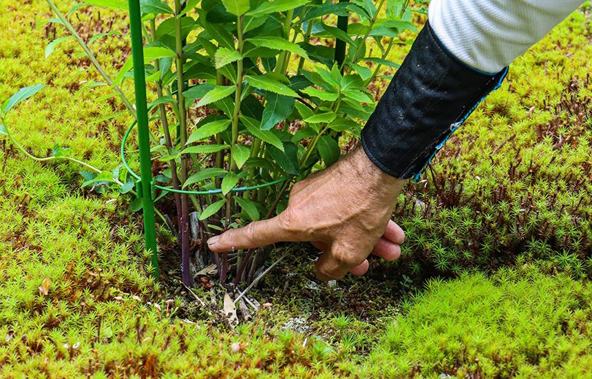 紫の桔梗の根元の茎